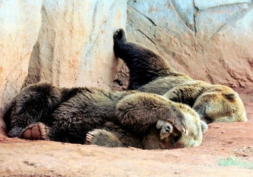 Two Lazy Bears