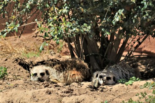 Two Meerkat Napping In Shade