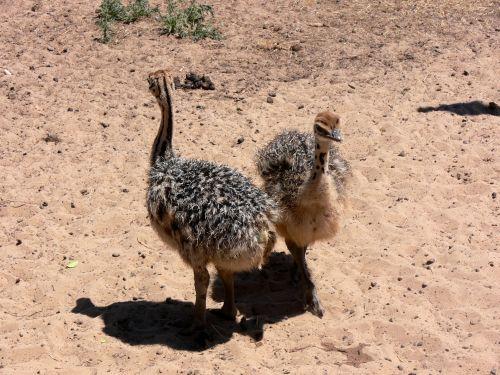 Two Ostrich Chicks