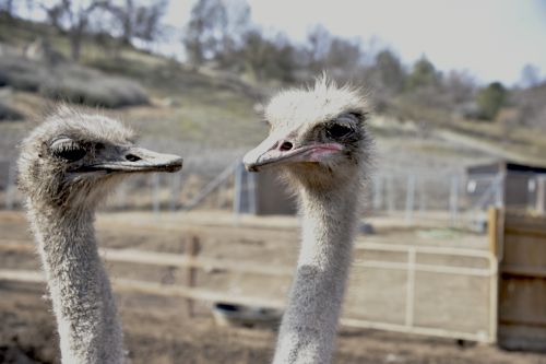 Two Ostrich Heads