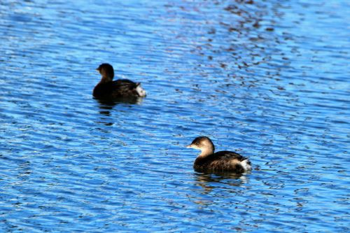 Two Pied-billed Grebe Swimming