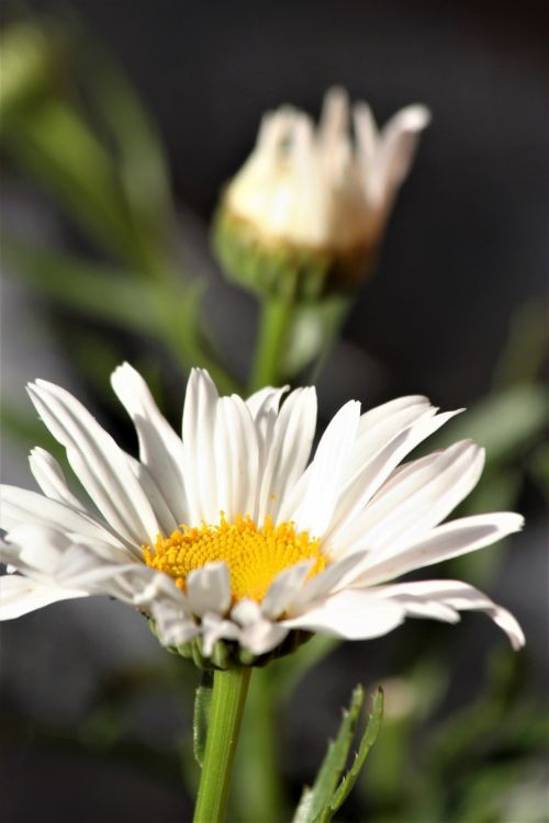 Two Shasta Daisy Flowers