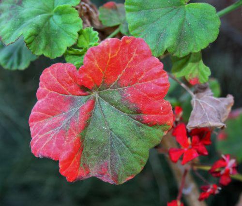 Two-tone Geranium Flower