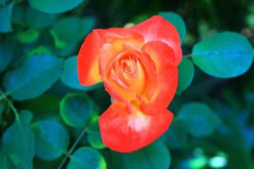 gėlė, rožė, oranžinė, geltona, du tonas pakilo