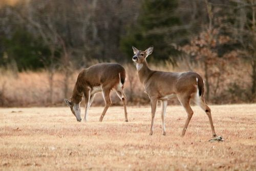 Two White-tail Doe In Winter