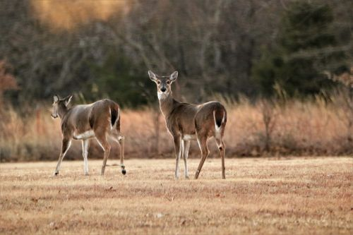 Two White-tail Doe Winter 2
