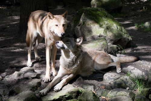 two wolves protective zoo