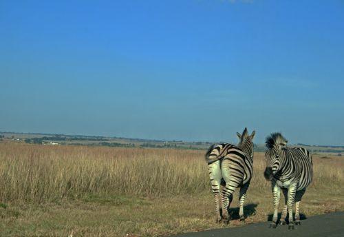 Two Zebra Facing Opposite Direction