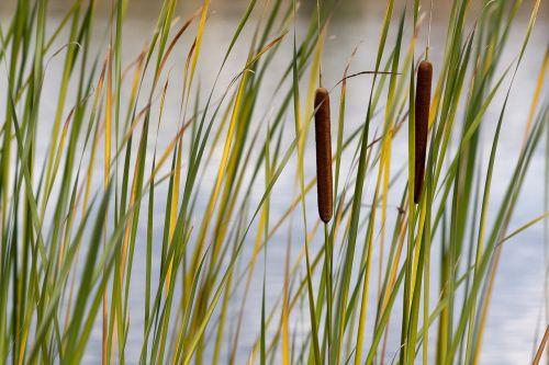 typha swamp plants siv