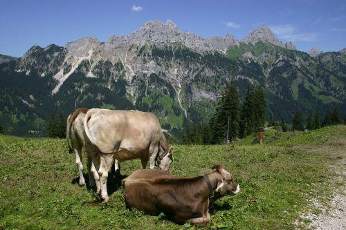 tyrol gräner annoy alpe cows