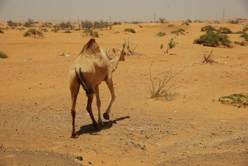 camels desert u a e