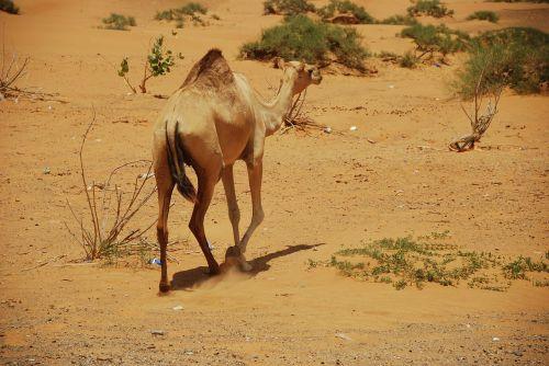 camels u a e dubai