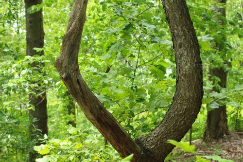 U Shaped Tree