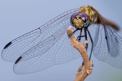 Ugandan dragon fly,gamtos jėga,dailės meniškumas