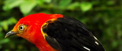 uirapuru birds of brazil birds