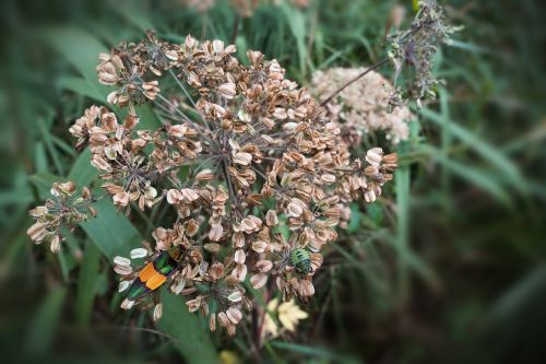 umbel seeds autumn