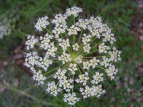 umbel flower white