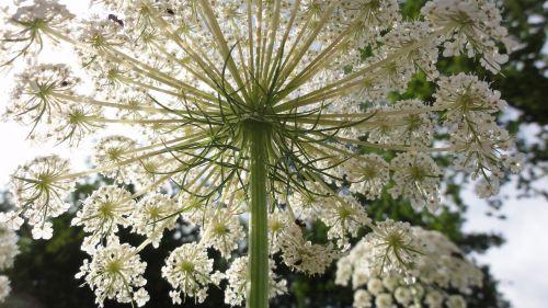 umbel summer pointed flower
