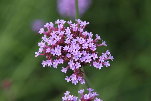 umbel flower violet