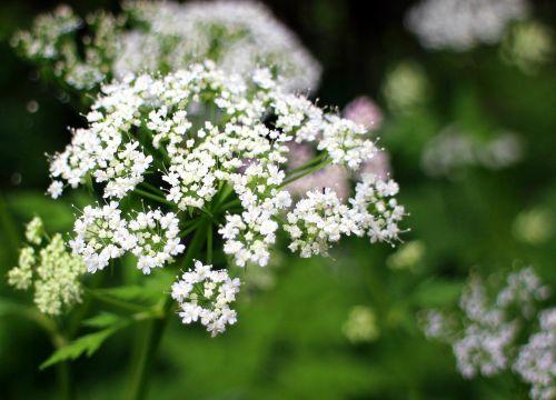 umbelliferae blossom bloom