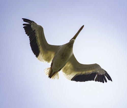 underside  bird  pelican