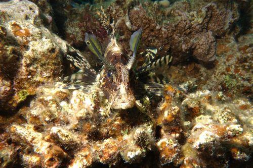 underwater lionfish red sea