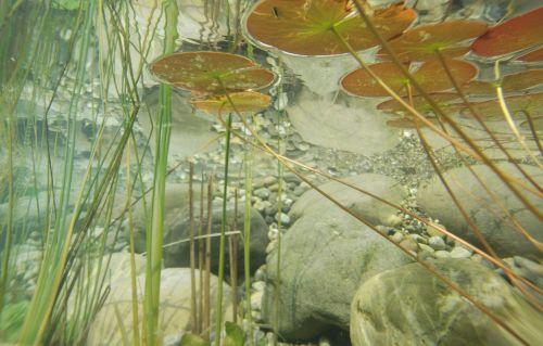 underwater photography pond plants