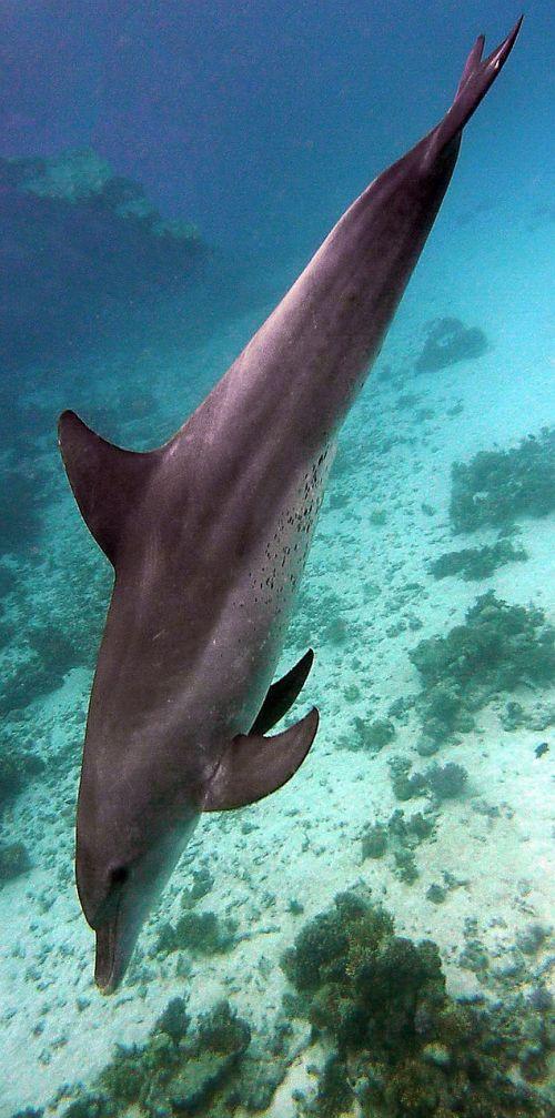 underwater dolphin diving
