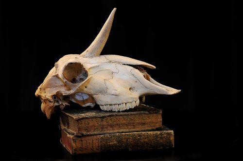 unicorn skull bone
