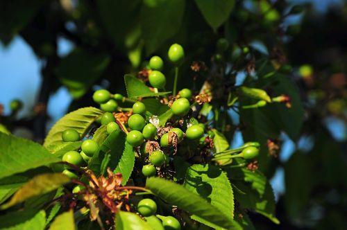unripe cherries tree fruit