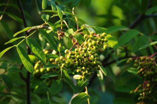 unripe rowan berries green tree