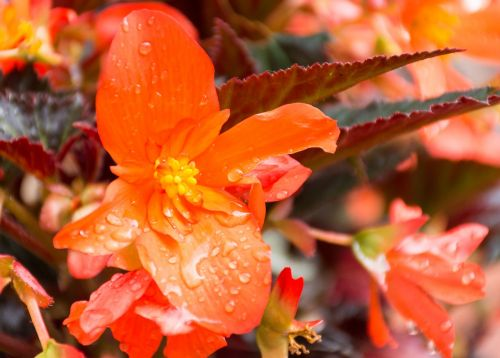 unstoppable upright fire begonia flower