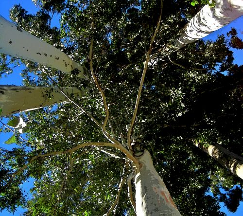 Up Into The Tops Of Bluegum Trees