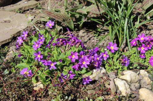 upholstery perennial primrose purple