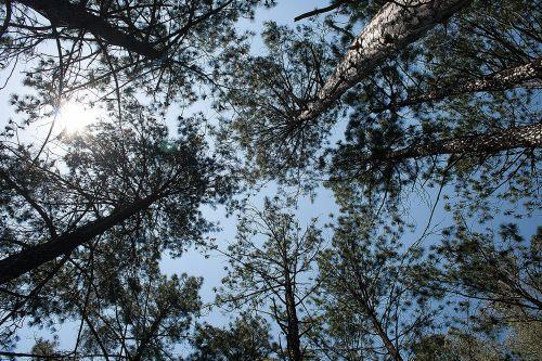 Upward View Of Treetops