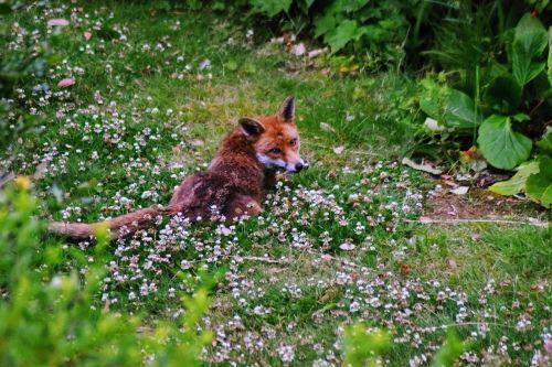 urban fox fox urban