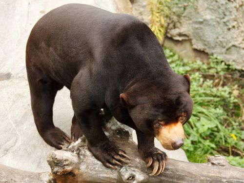 Ursus Malayanus