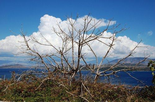 uschnięty ficus  sea  clouds