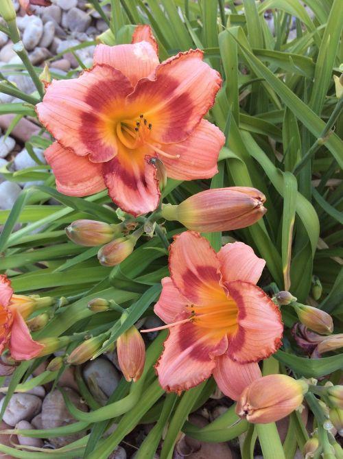 utah bugle flower