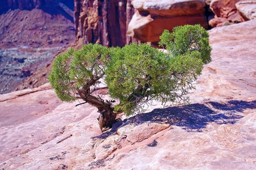 utah juniper on the edge  juniper  gnarled