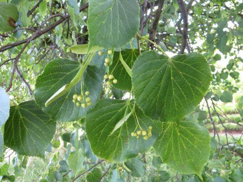 It Will Flourish Linden Tree