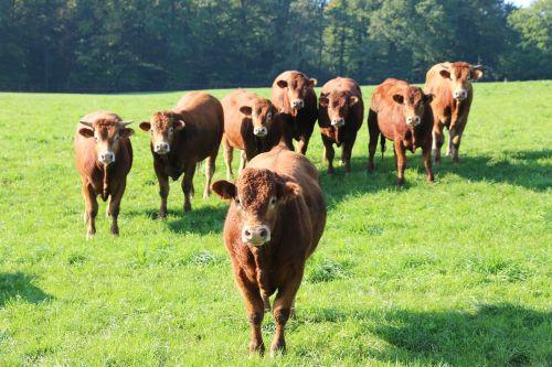 vaches rousses,bandos,veisimas
