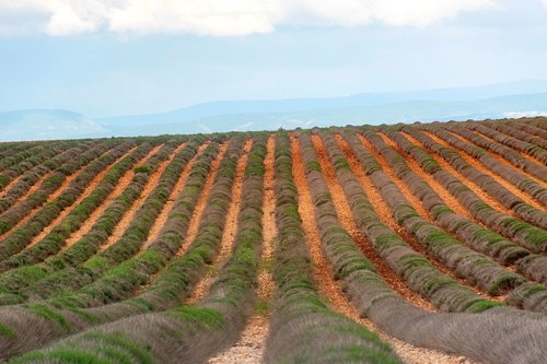 valensole  lavender field  barren