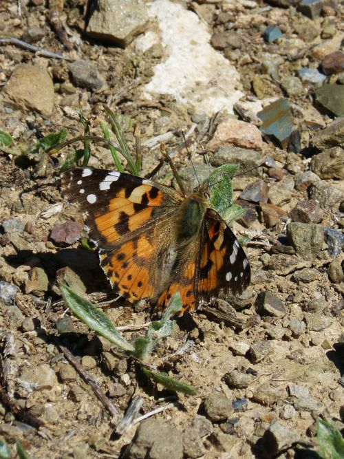 vanessa cardui vanesa from thistles butterfly