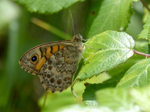 vanessa cardui butterfly leaf