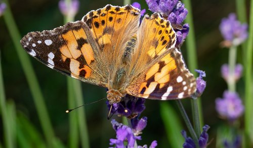 vanessa cardui  butterfly  insect