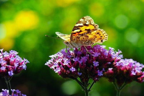 vanessa cardui  butterfly  macro