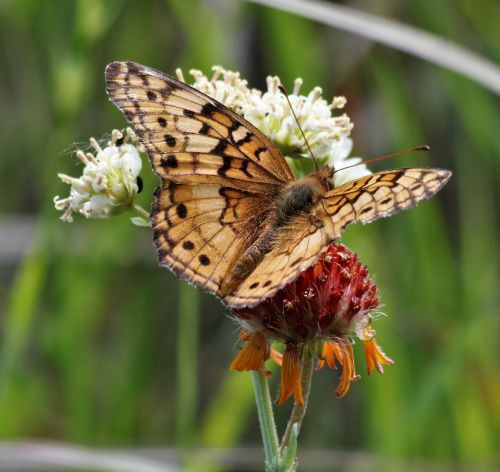 Variegated Fritillary Butterfly 2