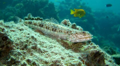 variegated lizardfish reef coral