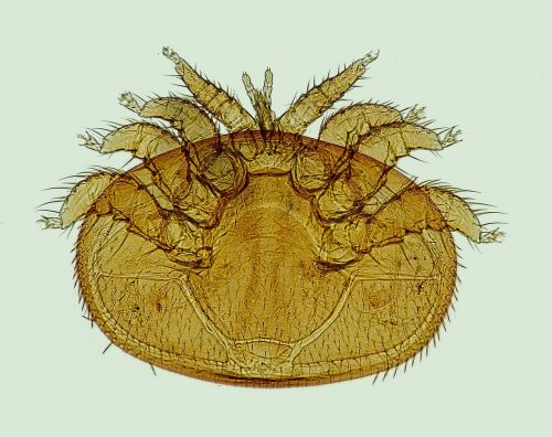 varroa mite the bee parasite